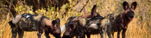Zimbabwe wildlife hunting dog