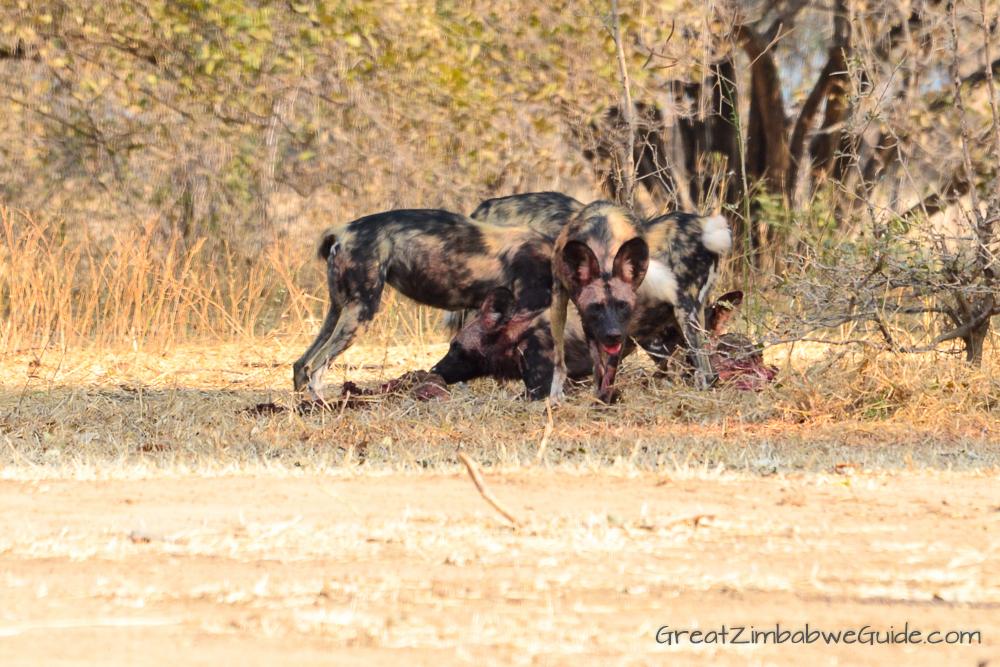 Painted wolves dogs Zimbabwe (3)