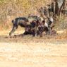 Painted wolves dogs Zimbabwe (4)
