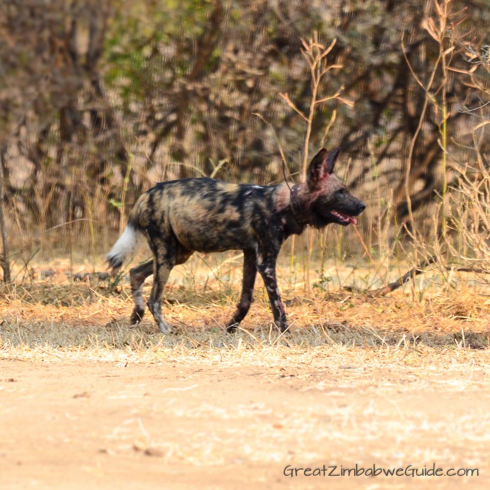 Painted wolves dogs Zimbabwe (5)