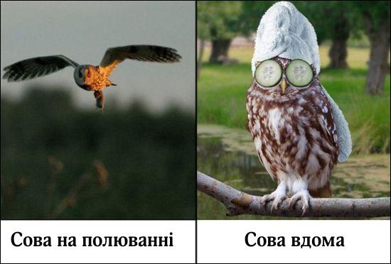 Сова на полюванні і сова вдома