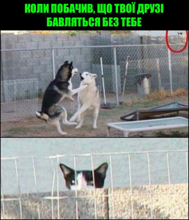 Коли побачив, що твої друзі бавляться без тебе. На фото: двоє собак граються, а за ними з-за паркану спостерігає кіт