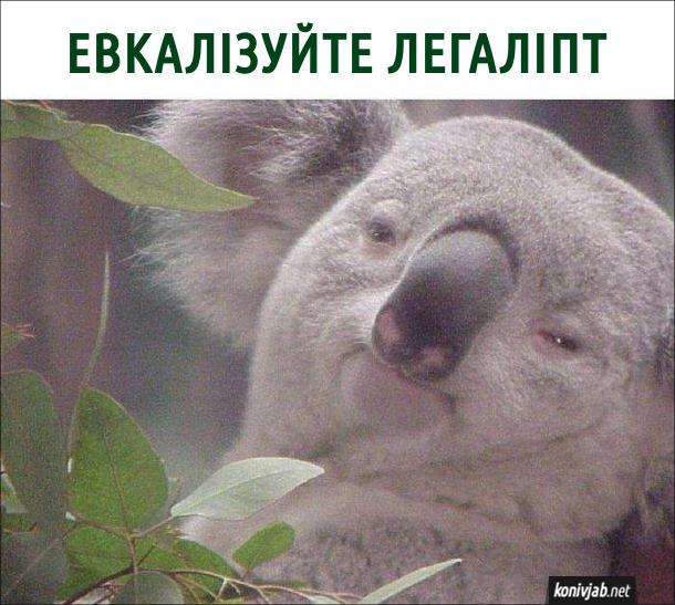 Прикол про коалу. Коала каже: - Евкалізуйте легаліпт