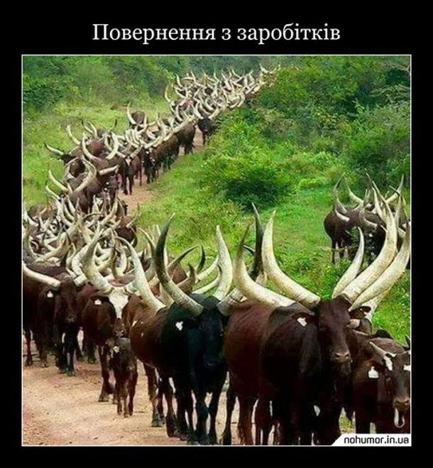 Жарт про заробітчан. Повернення з заробітків. Йдуть корови (чи бики) з величезними рогами. Символізує те, що поки заробітчани працюють вдома їм зраджують - наставляють роги