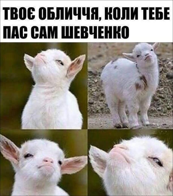 Мем Шевченко пас ягнят. Твоє обличчя, коли тебе пас сам Шевченко - ягня гордо задерло голову