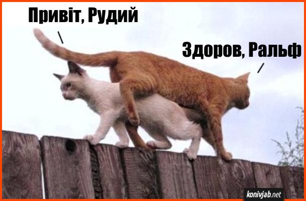 Прикол Коти на заборі. Коти йдуть по забору один навпроти одного, якимось чином розминаються і при цьому здороваються. - Привіт, Рудий. - Здоров, Ральф