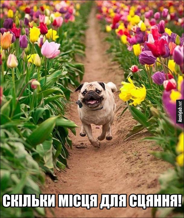 Прикол Мопс серед квіток бігає і сяє від щастя. Скільки місця для сцяння!
