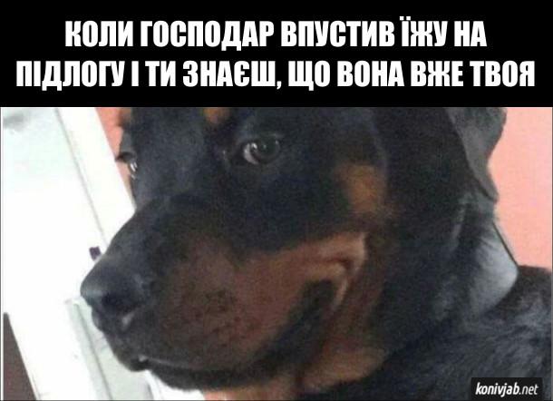 Прикол Задоволений пес. Коли господар впустив їжу на підлогу і ти знаєш, що вона вже твоя