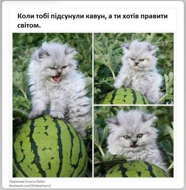 Прикол про кошеня, яке має лютий вираз обличчя. Коли тобі підсунули кавун, а ти хотів правити світом