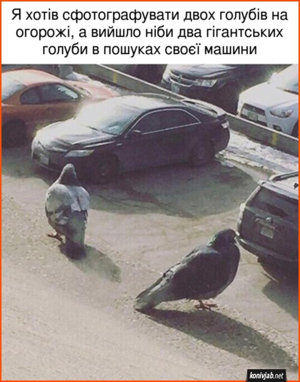 Смішне фото голубів. Я хотів сфотографувати двох голубів на огорожі, а вийшло ніби два гігантських голуби в пошуках своєї машини