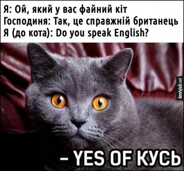 Мем Британський кіт. Я: Ой, який у вас файний кіт. Господиня: Так, це справжній британець. Я (до кота): Do you speak English? Кіт:  Yes of кусь.