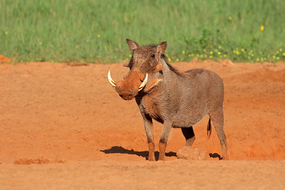 Bushpig and Warthog