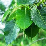Peepal_Tree_Benefits_Pic-700×430