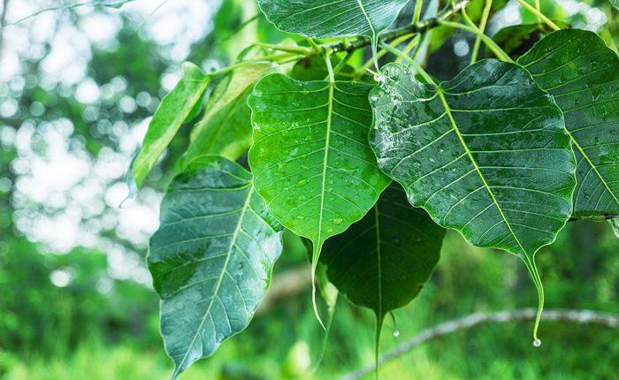Peepal_Tree_Benefits_Pic-700×430