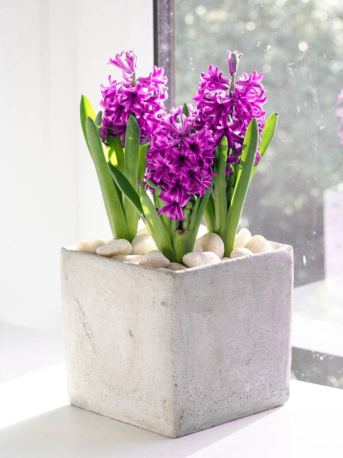 Pink Hyacinth in cement planter, delivered in North London, created by Garland