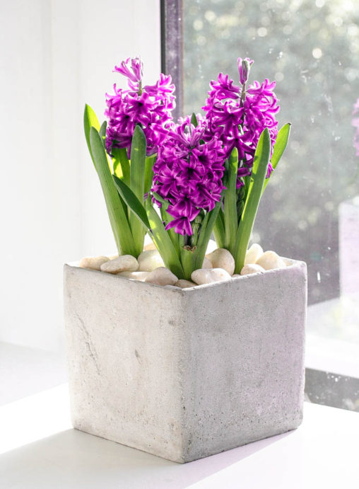 3 bulb hyacinth in modern grey cement planter, perfect for a gift or the home. Created by Garland, North London Florist