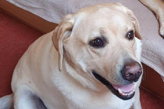 Labrador Dog Rushed To Emergency Clinic After Eating Its Lead