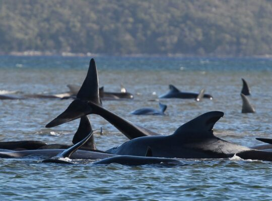 Australian Scientists And Police Strive To Save Stranded Whales