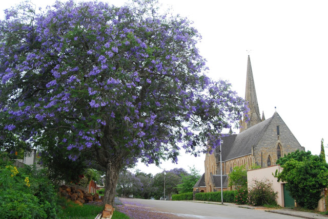jacaranda trees in south africa