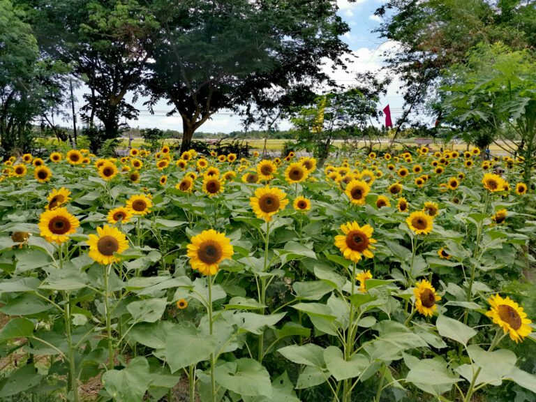 sunflower-farm-marinduque (2)