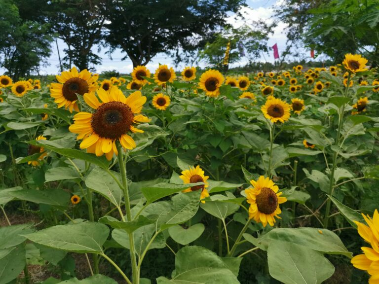 sunflower-farm-marinduque (4)