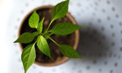 Zaštitite mlade biljke uz sodu čak i nakon pojave nametnika!