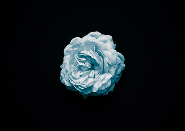 Blue Rose on a Solid Black Background