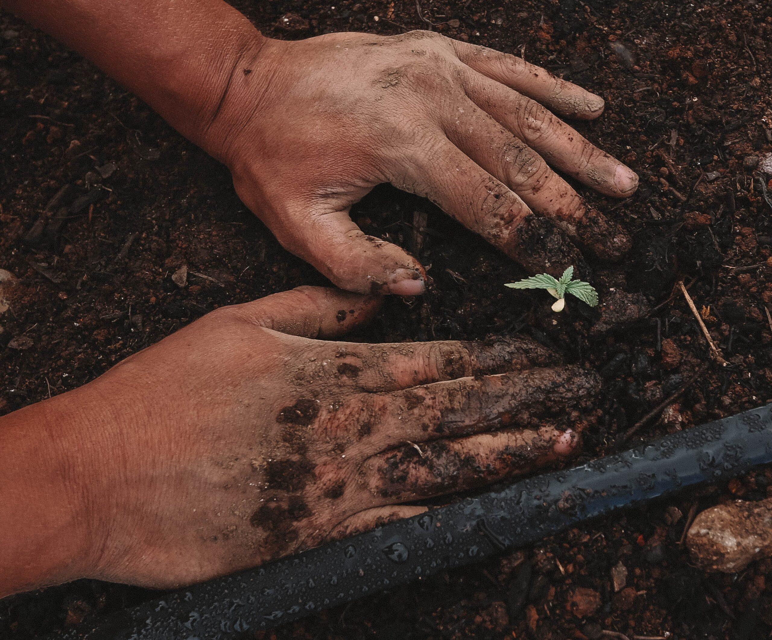 Hands in soil planting hemp plant