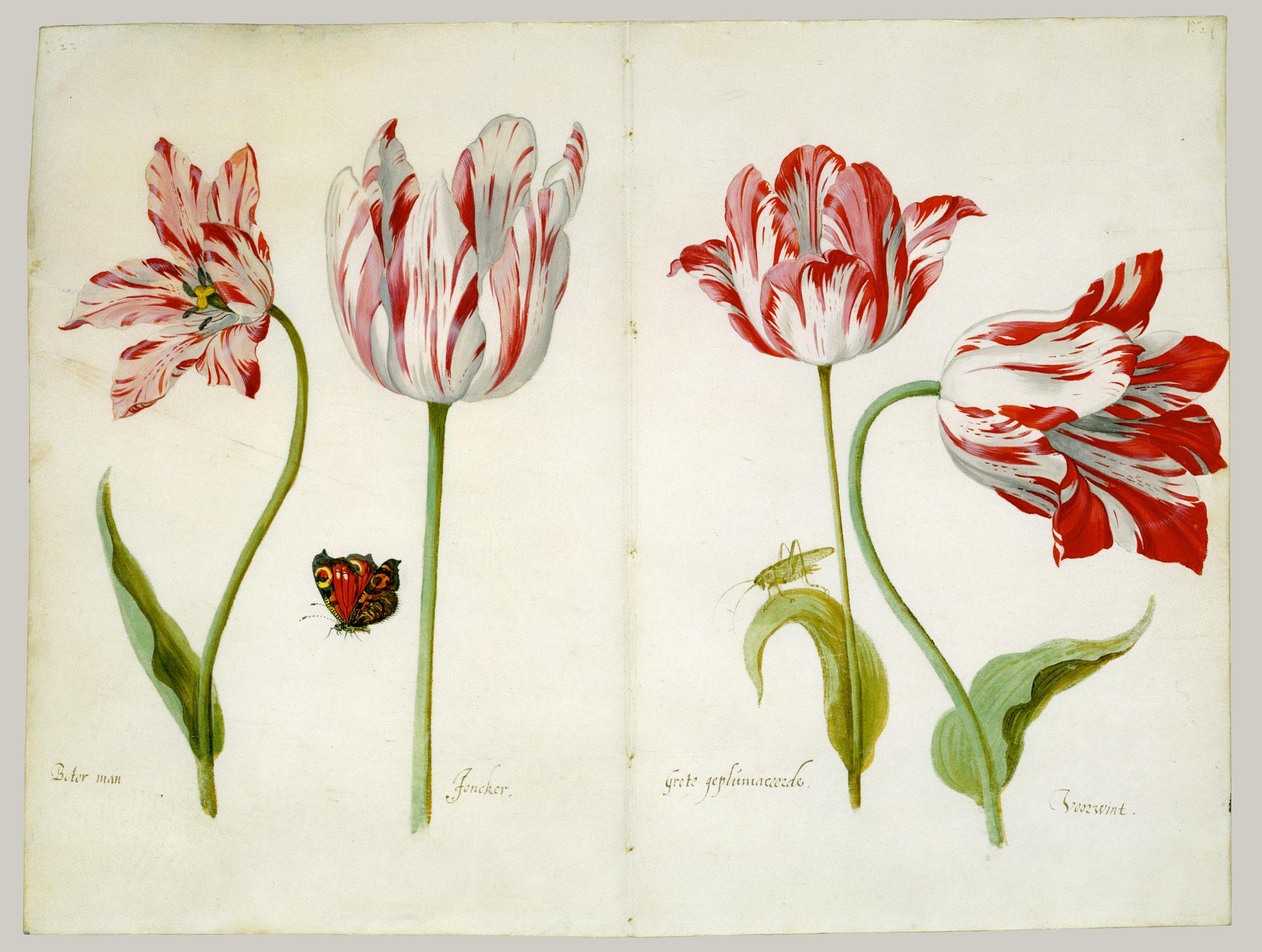 Jacob Marrel, Four Tulips: Boter man (Butter Man), Joncker (Nobleman), Grote geplumaceerde (The Great Plumed One), and Voorwint (With the Wind), ca. 1635–45. Met Museum.