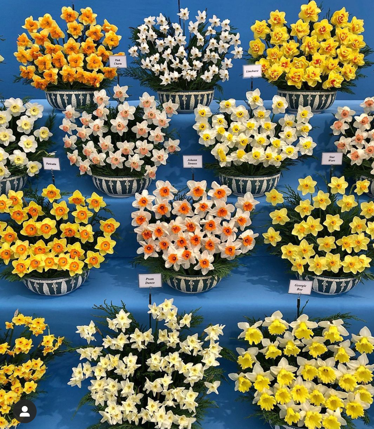Daffodils at Chelsea Flower Show