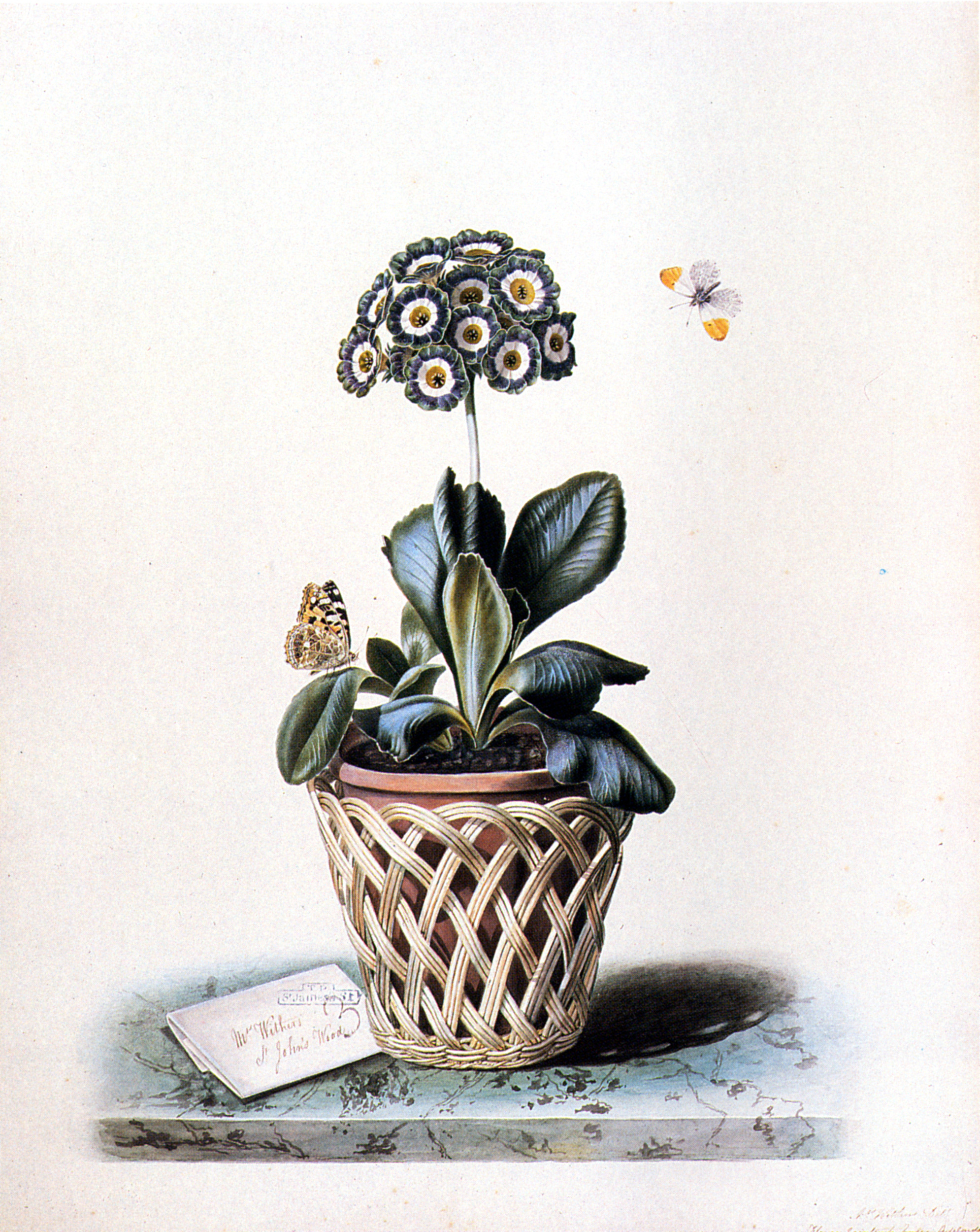 Augusta Innes Withers 1793-1864 An Auricula in a Pot