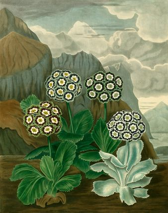 Coloured engraved plate depicting Auriculas from the 1820 publication 'The Beauties of Flora' by Samuel Curtis (1779-1860).
