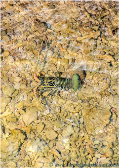 The spiny lobster in the water beneath Baan Hura