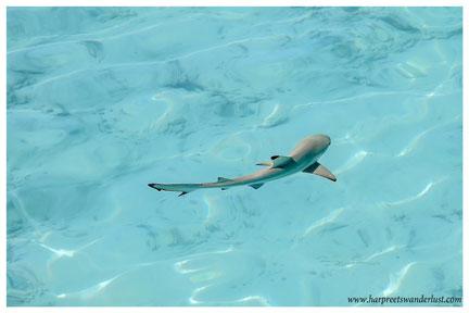 The Reef Shark!