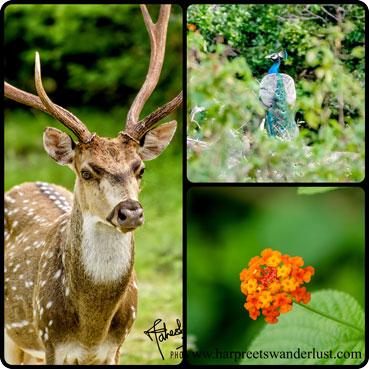Samar deer, peacocks and bright flowers in Yala.