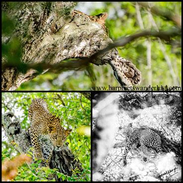 Can you spot him? Our panthera pardus kottiya!