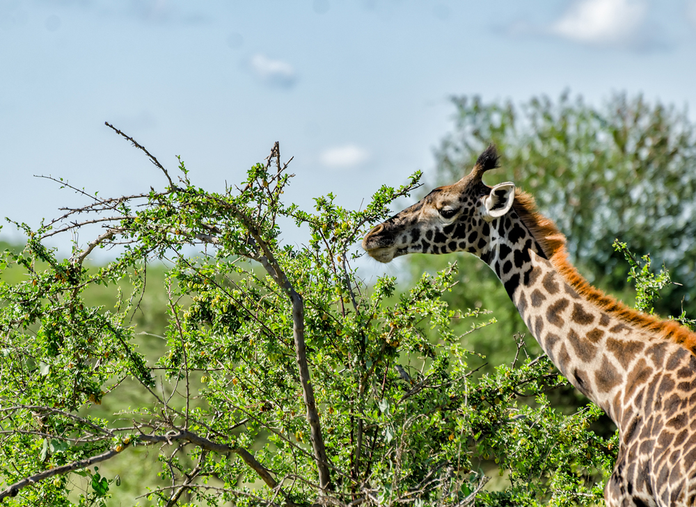 Masai Giraffe feeding on acacia trees