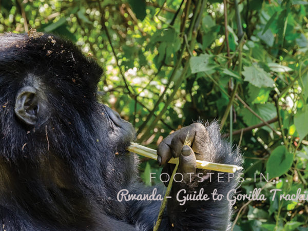 Footsteps in Rwanda…Guide to Gorilla Tracking