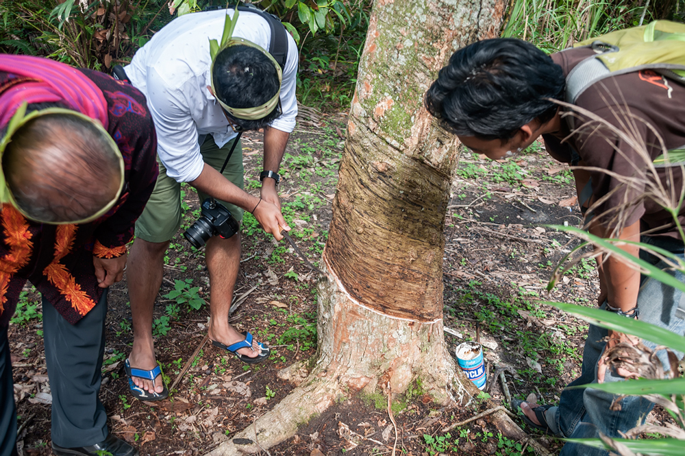 Tapping rubber from the trees in the chiefs garden