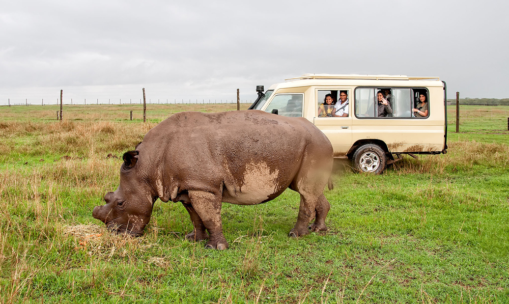 One of only three Northern White Rhino in the world!