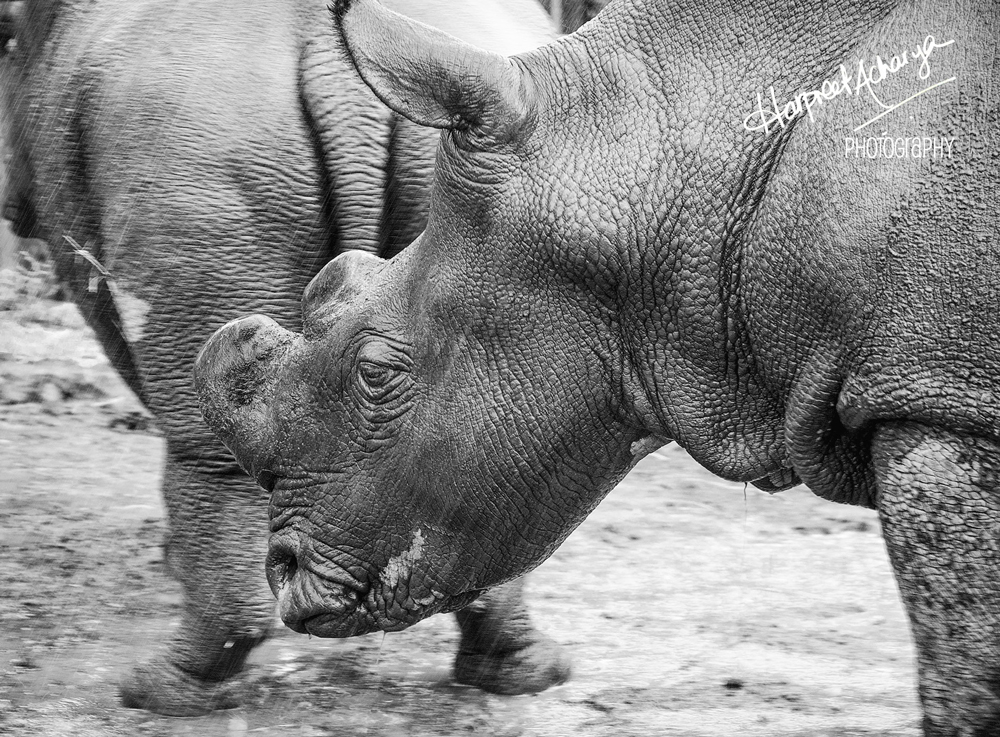 Northern White Rhino at Ol Pejeta Conservancy