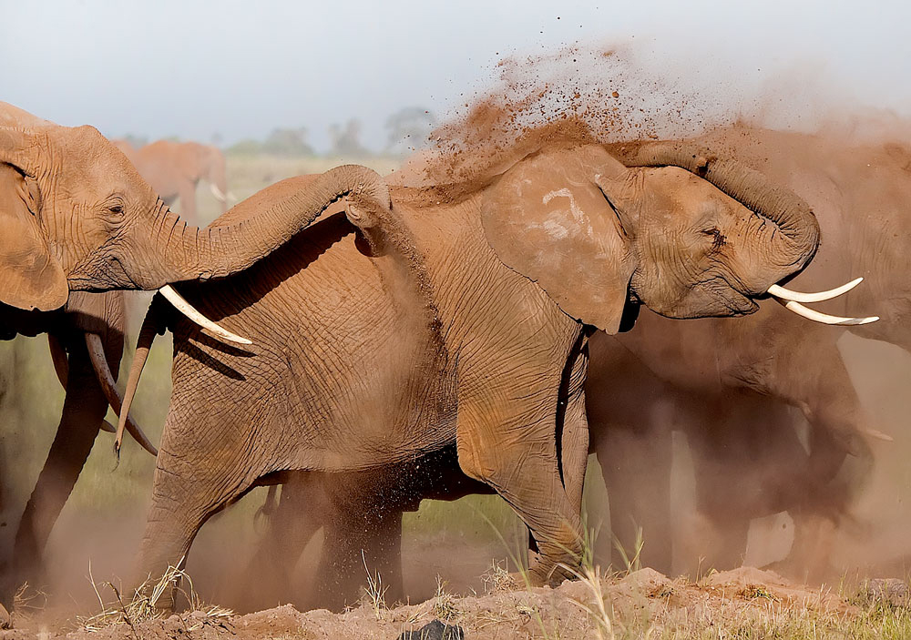 Elephants playing in dust