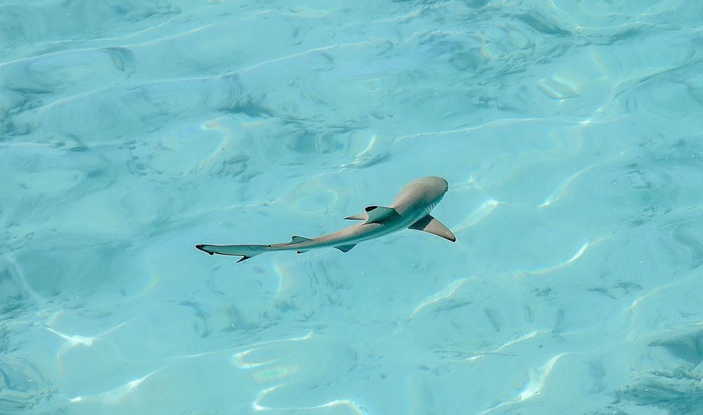 Swimming with reef sharks in the Maldives
