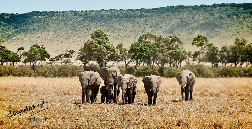 A Matriarch leading her herd
