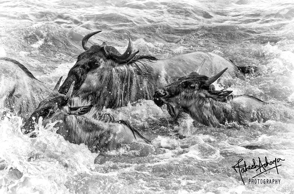 Wildebeeste swimming in the Mara River - Courtesy of Mahesh Acharya