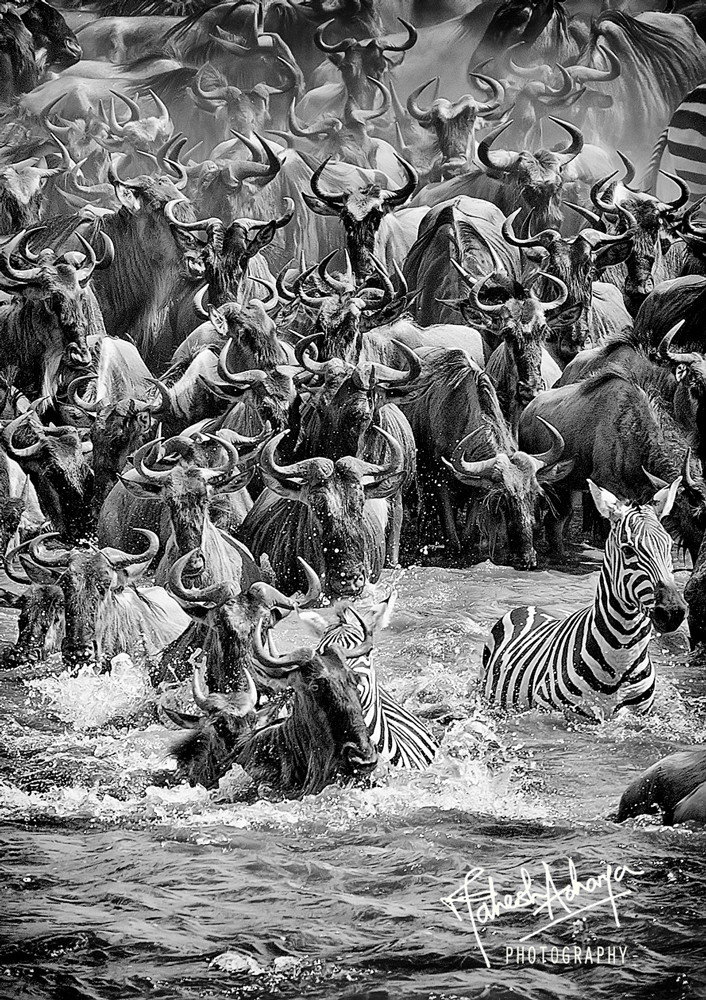 Leap of faith - rush hour for the wildebeeste - Courtesy of Mahesh Acharya