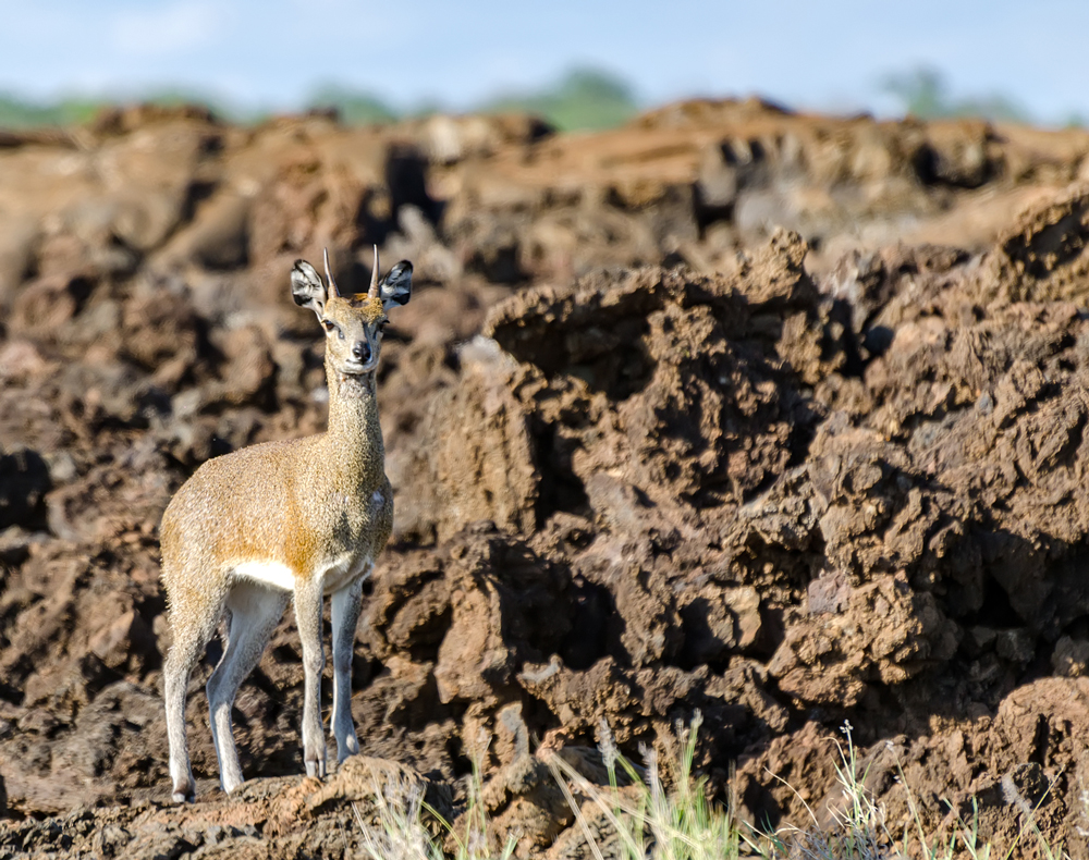 Klipspringer in the plains of shaitani