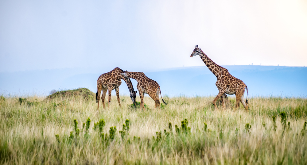 Giraffe moseying in the plains of the Mara