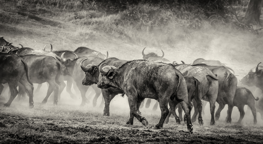 Herd of Cape Buffalo