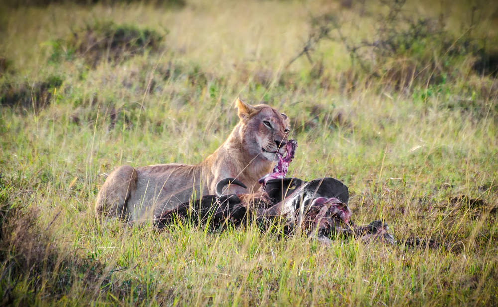 Lioness with a kill- not everyone gets out alive...